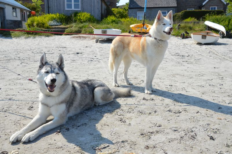 Huskies enjoying the beach when it's cool enough