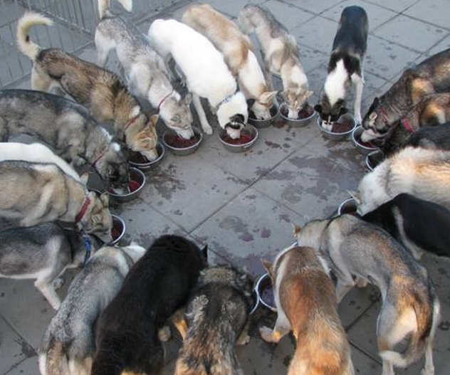 Siberian Huskies Eating