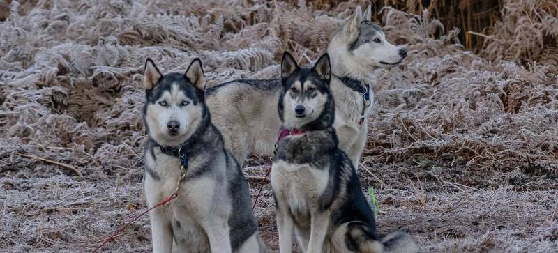 huskies in the frost