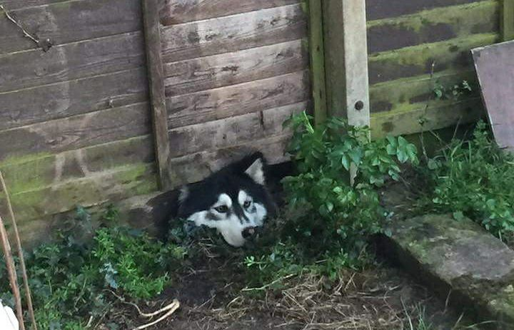 husky escape eat fence